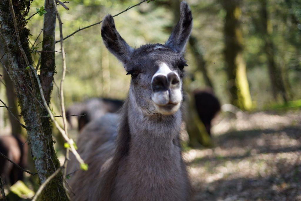 Les lamas à la une